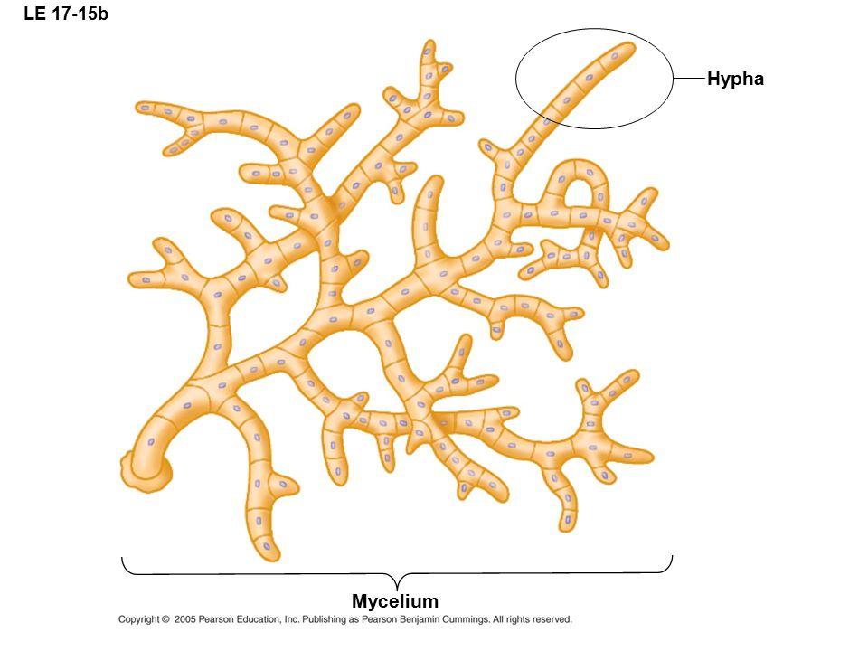 LE 17-15b Hypha Mycelium
