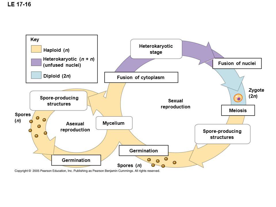 LE 17-16 Key Heterokaryotic stage Haploid (n) Heterokaryotic (n + n)