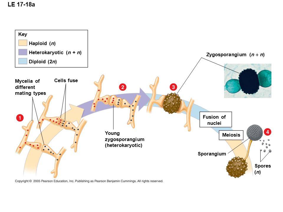 LE 17-18a Key Haploid (n) Heterokaryotic (n + n)