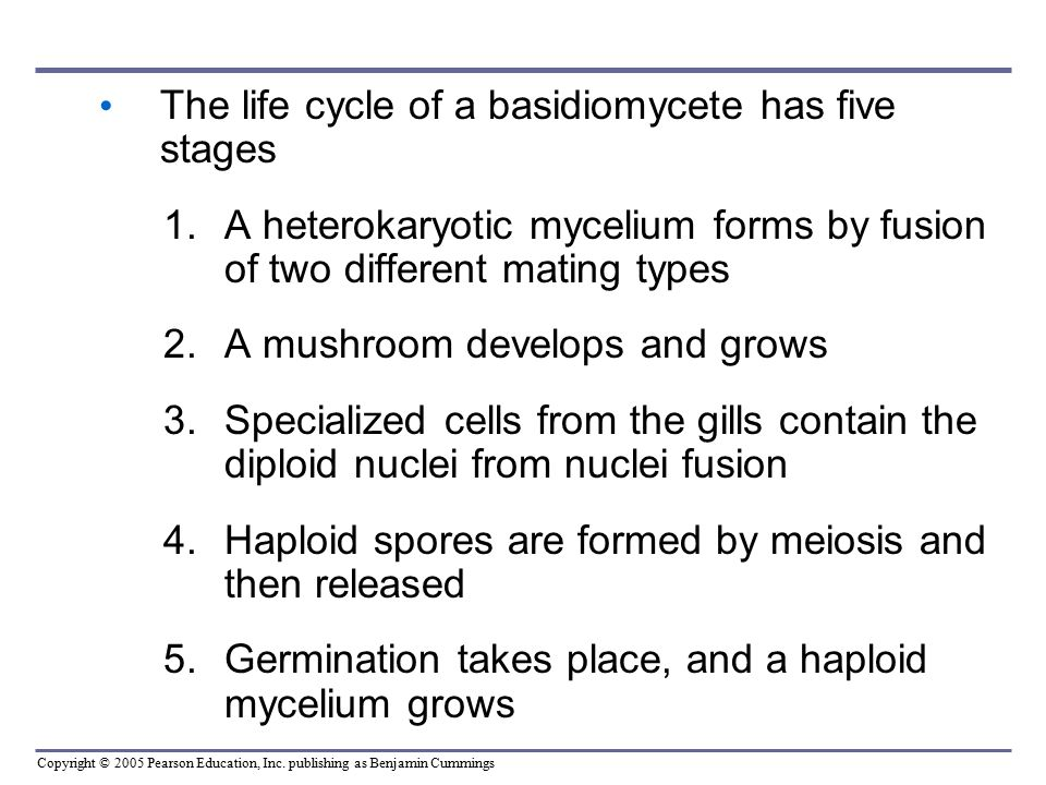 The life cycle of a basidiomycete has five stages