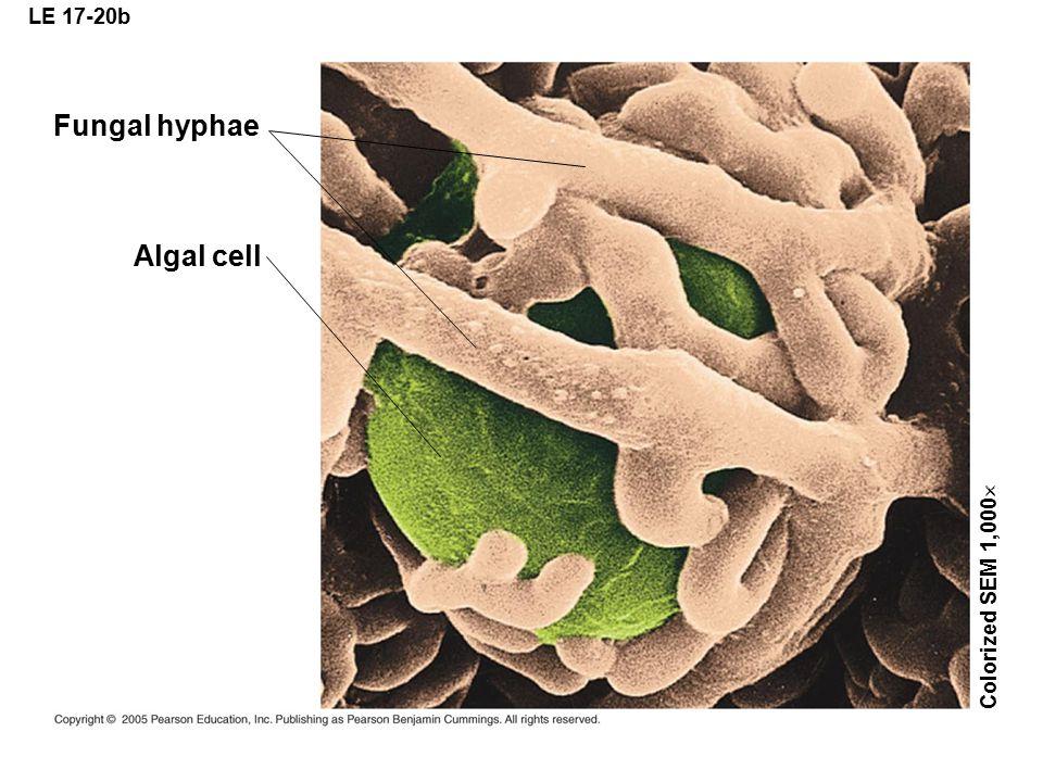LE 17-20b Fungal hyphae Algal cell Colorized SEM 1,000