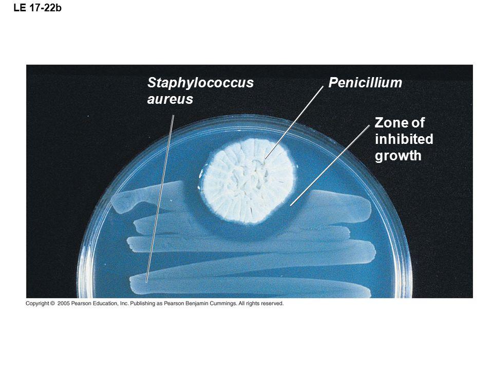LE 17-22b Staphylococcus aureus Penicillium Zone of inhibited growth