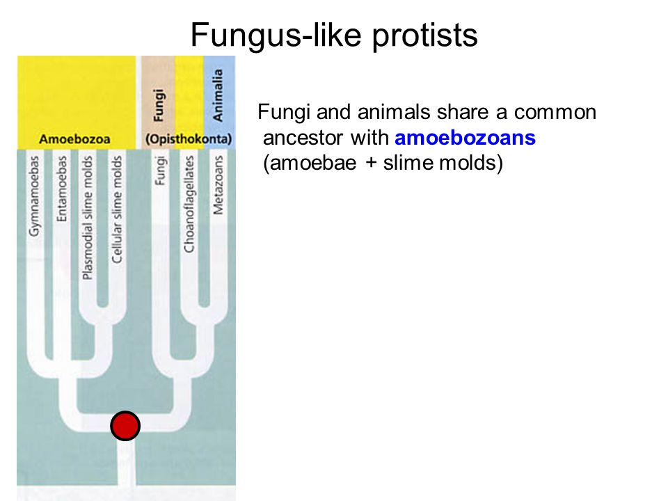 Fungus-like protists Fungi and animals share a common