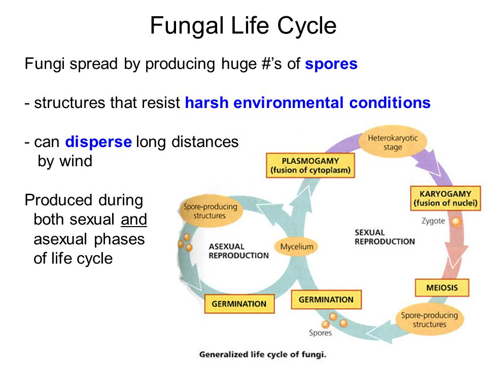 Fungal Life Cycle Fungi spread by producing huge #'s of spores