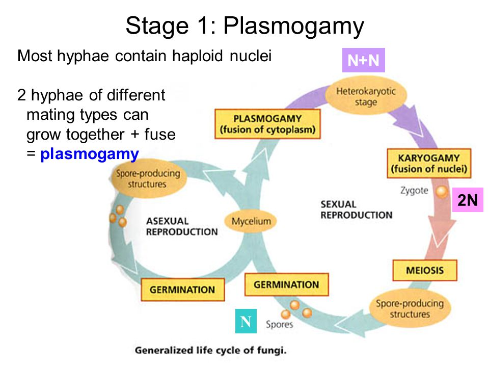 Stage 1: Plasmogamy Most hyphae contain haploid nuclei N+N