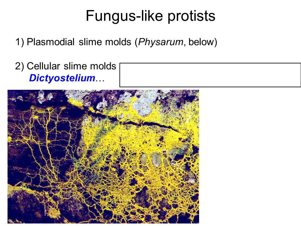 fungus-like protists fungi and animals share a common ...  #14