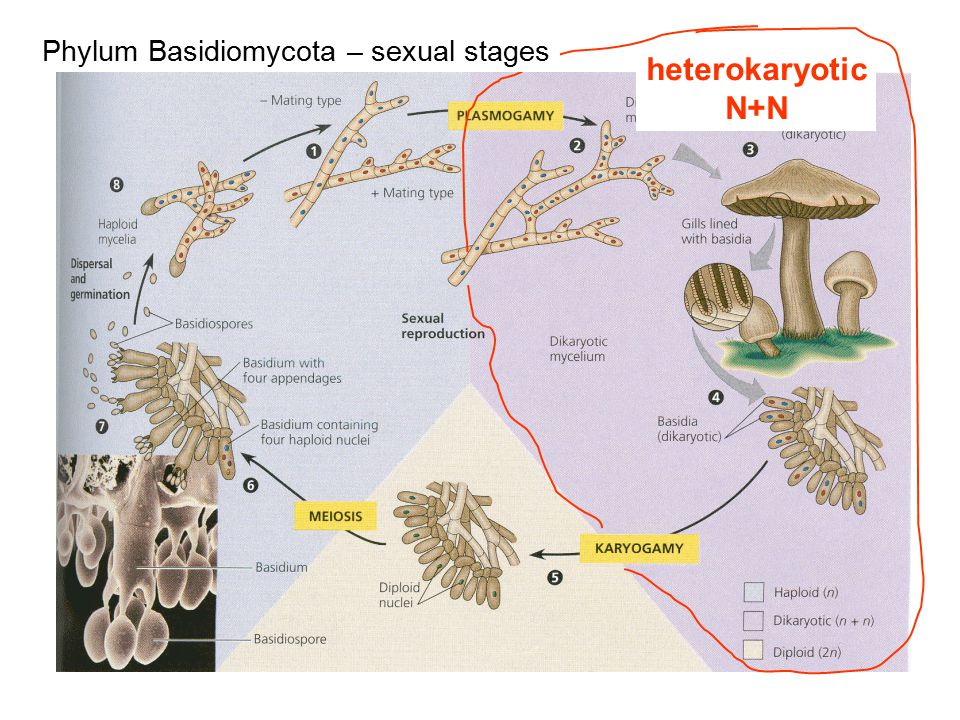 Phylum Basidiomycota – sexual stages