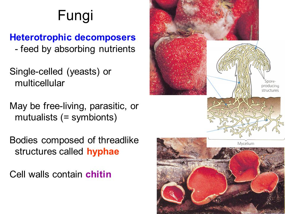 Fungi Heterotrophic decomposers - feed by absorbing nutrients