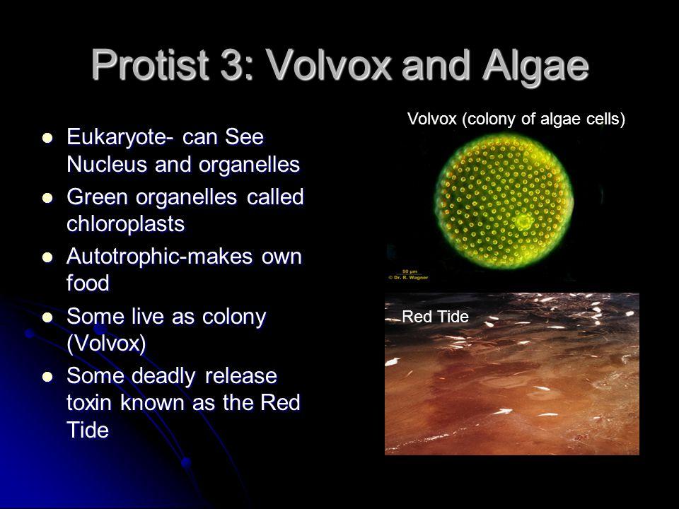 Protist 3: Volvox and Algae