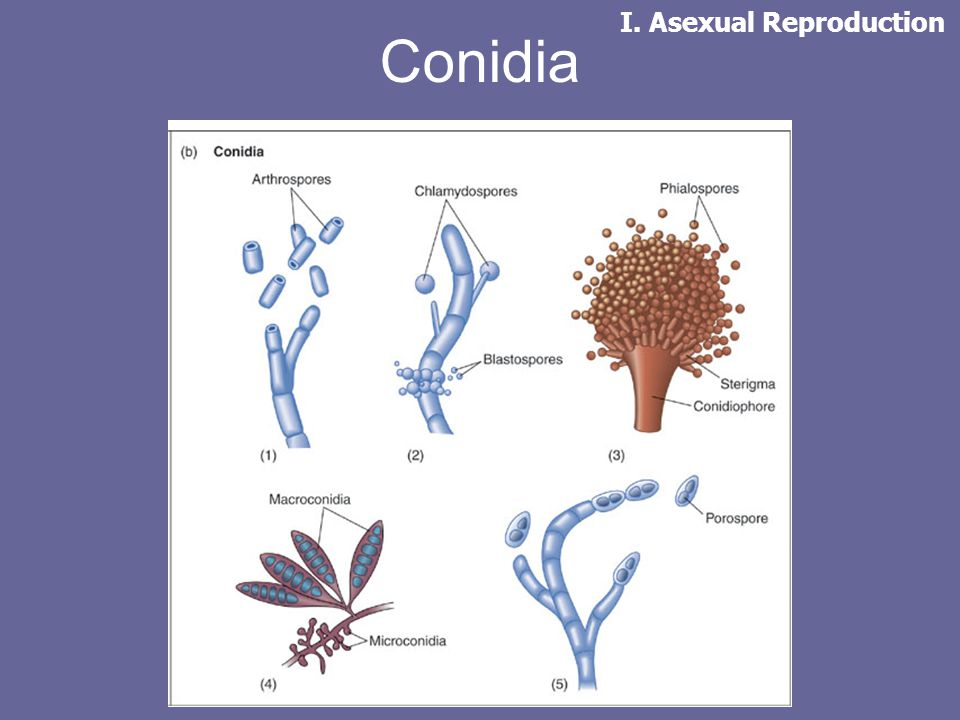 Conidia I. Asexual Reproduction