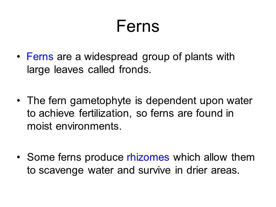 Ferns • Ferns are a widespread group of plants with large leaves called fronds.