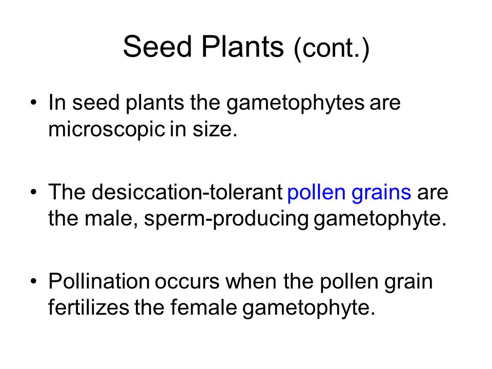 Seed Plants (cont.) In seed plants the gametophytes are microscopic in size.