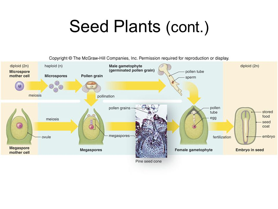 Seed Plants (cont.)