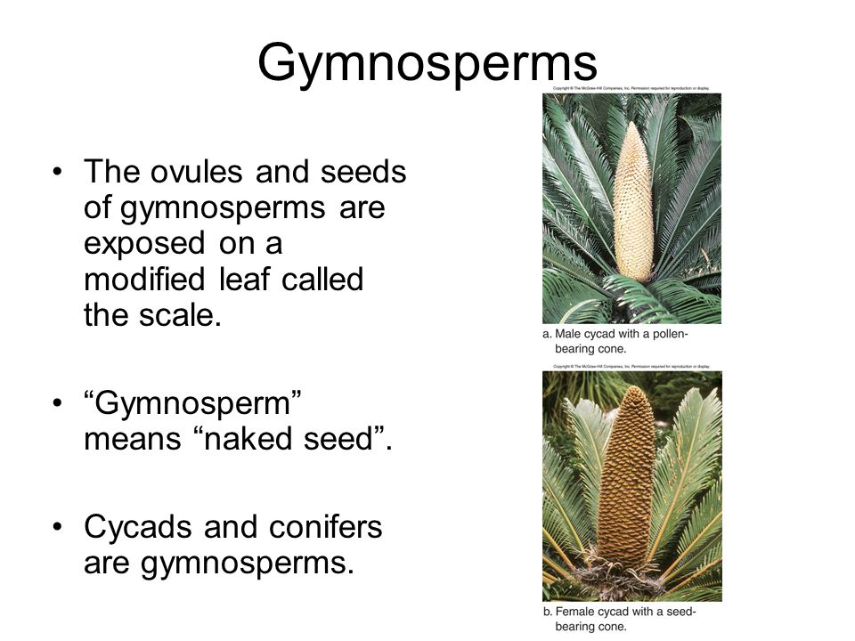 Gymnosperms The ovules and seeds of gymnosperms are exposed on a modified leaf called the scale. Gymnosperm means naked seed .