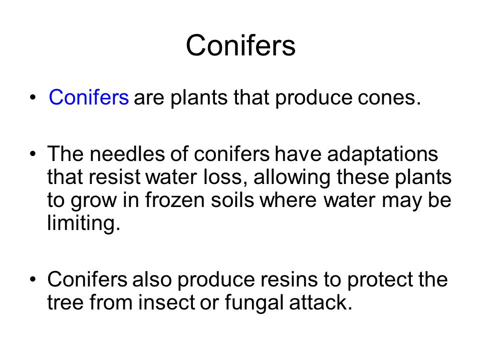 Conifers • Conifers are plants that produce cones.