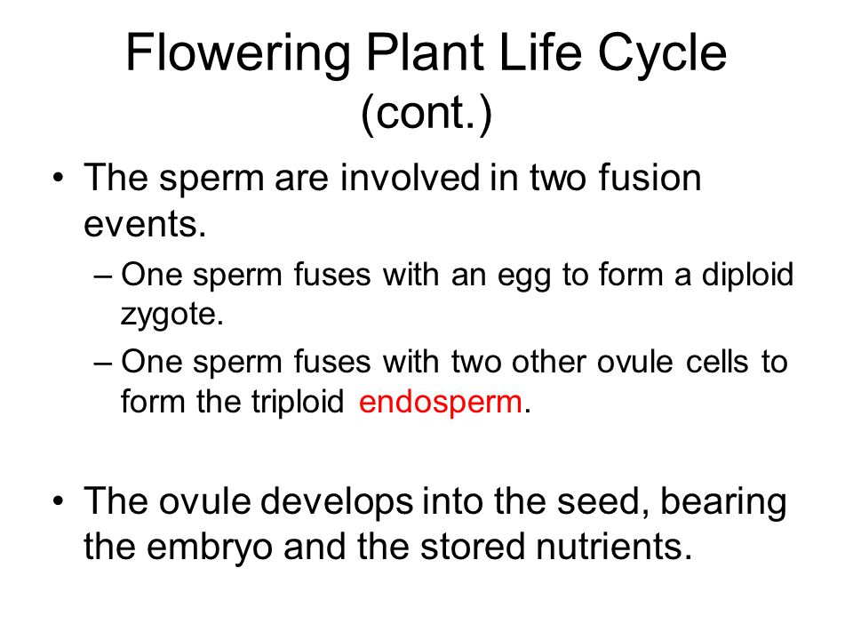 Flowering Plant Life Cycle (cont.)