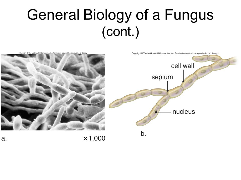 General Biology of a Fungus (cont.)