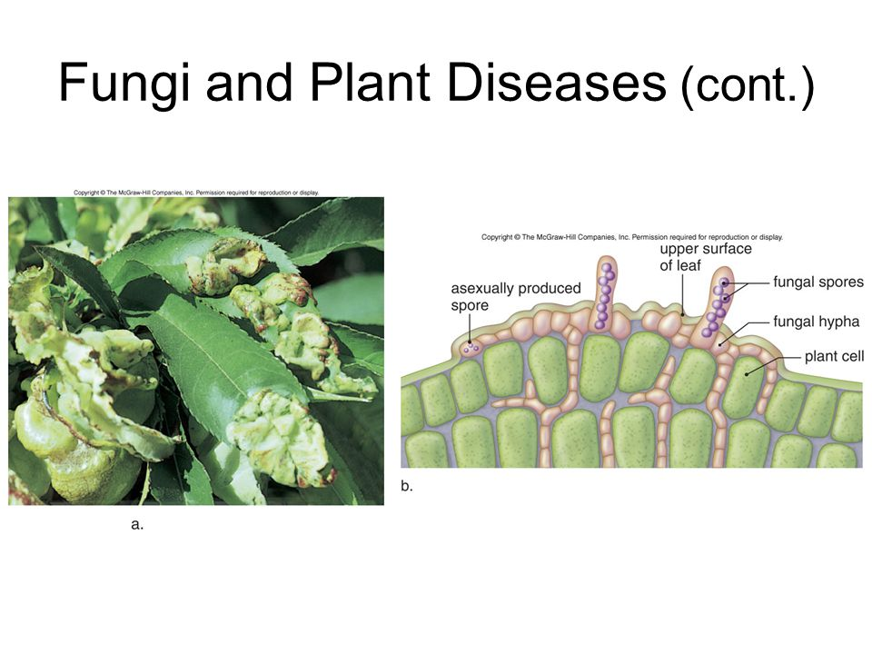 Fungi and Plant Diseases (cont.)