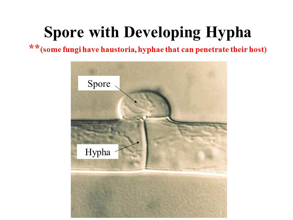 Spore with Developing Hypha