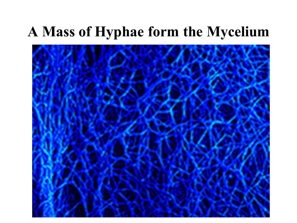 A Mass of Hyphae form the Mycelium