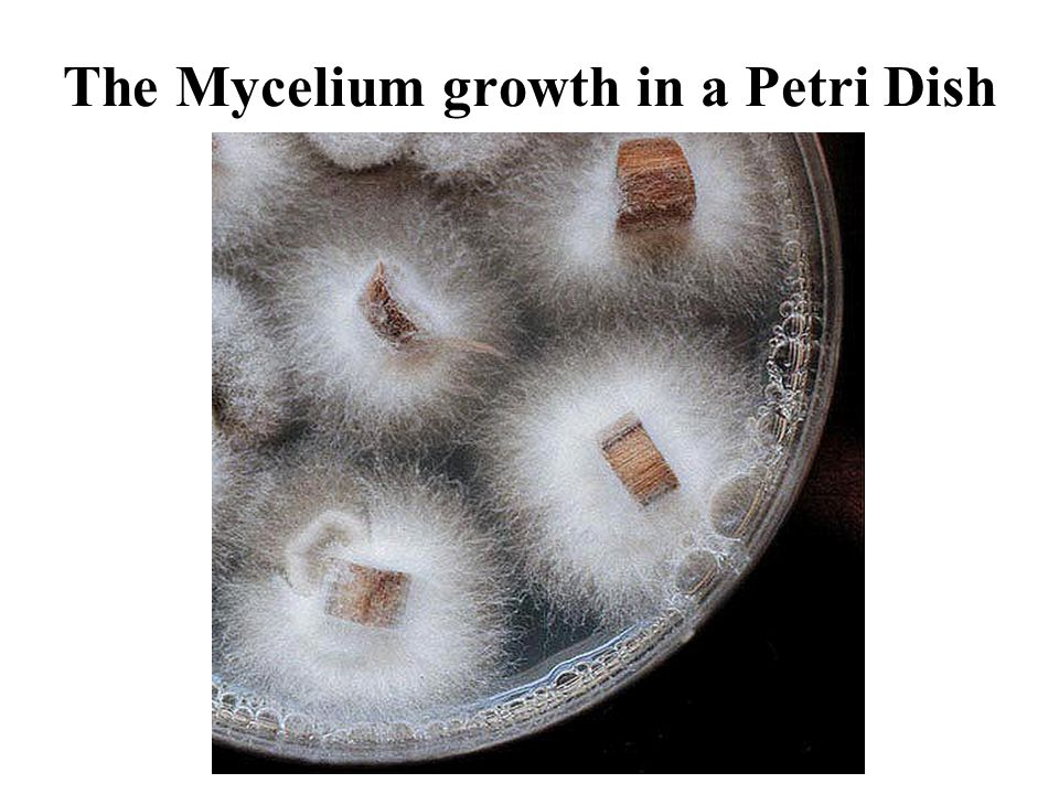 The Mycelium growth in a Petri Dish