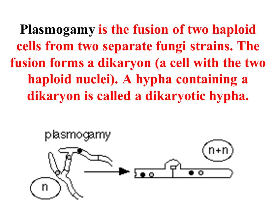 Plasmogamy is the fusion of two haploid cells from two separate fungi strains.