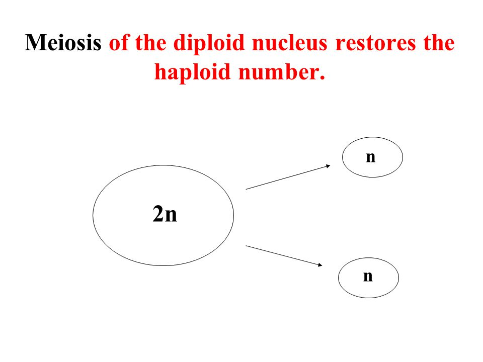 Meiosis of the diploid nucleus restores the haploid number.