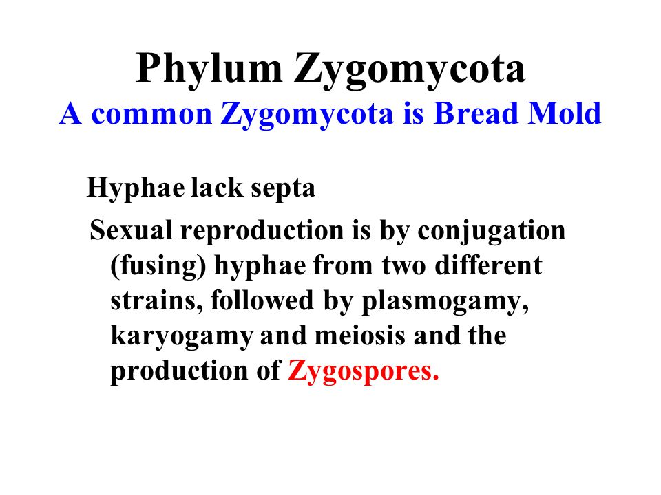 Phylum Zygomycota A common Zygomycota is Bread Mold