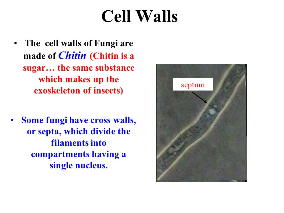 Cell Walls The cell walls of Fungi are made of Chitin (Chitin is a sugar… the same substance which makes up the exoskeleton of insects)