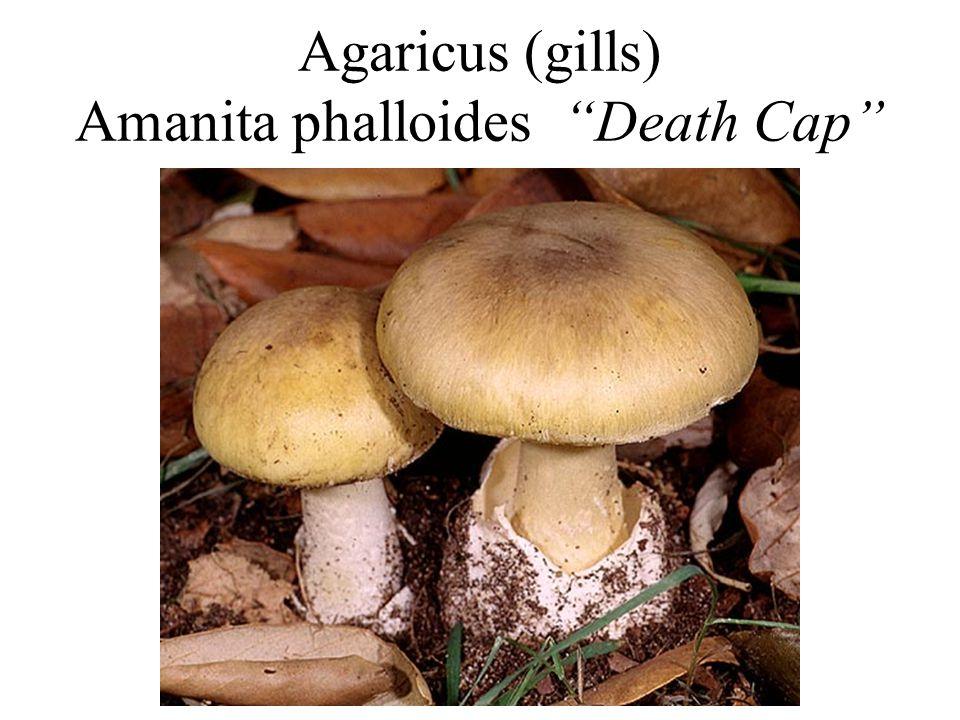 Agaricus (gills) Amanita phalloides Death Cap