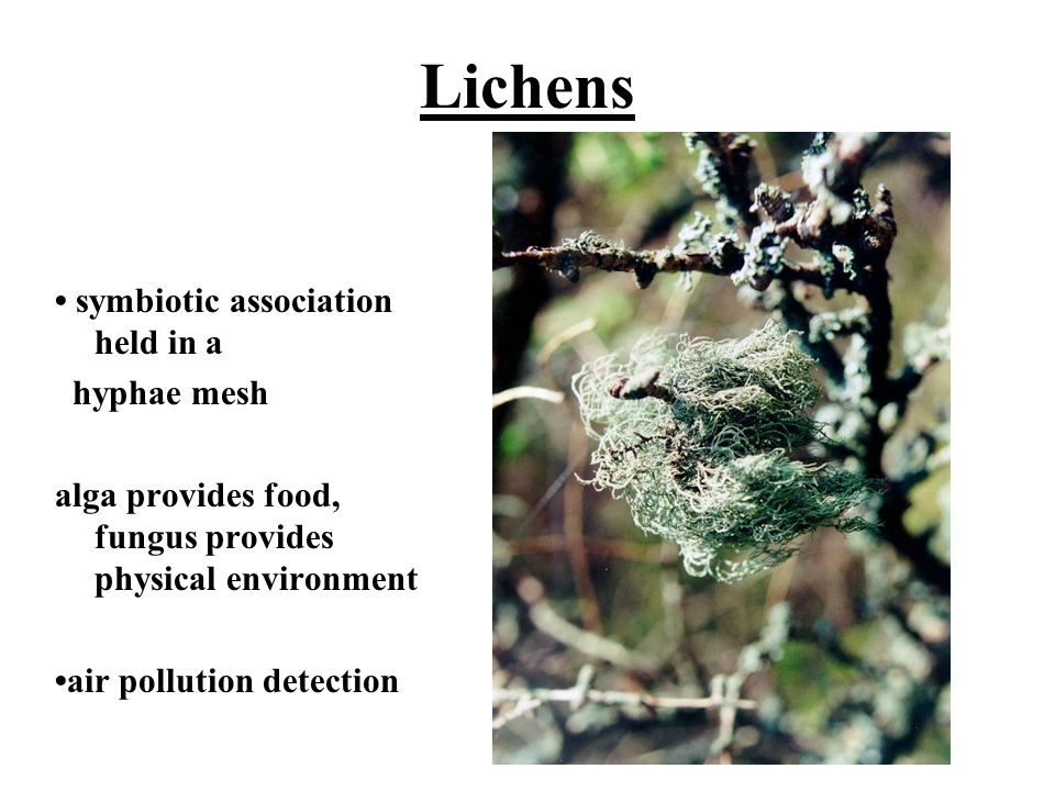 Lichens • symbiotic association held in a hyphae mesh