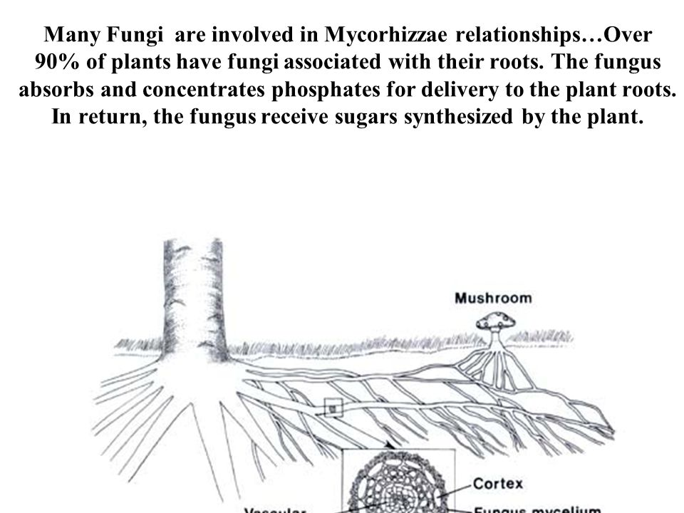 Many Fungi are involved in Mycorhizzae relationships…Over 90% of plants have fungi associated with their roots.