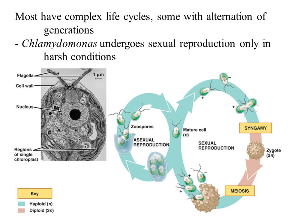 Most have complex life cycles, some with alternation of