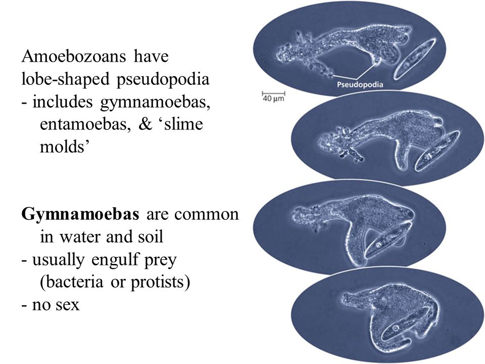 Amoebozoans have lobe-shaped pseudopodia. includes gymnamoebas, entamoebas, & 'slime. molds' Gymnamoebas are common.
