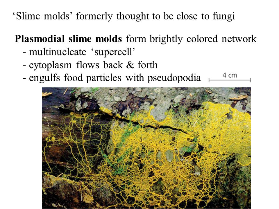'Slime molds' formerly thought to be close to fungi