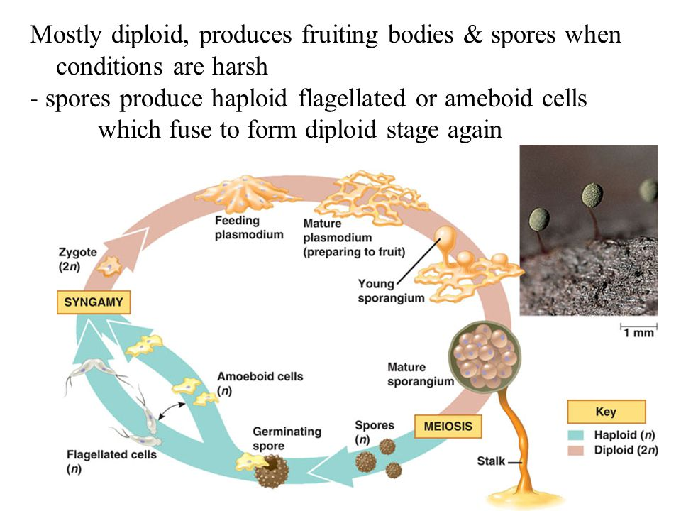 Mostly diploid, produces fruiting bodies & spores when