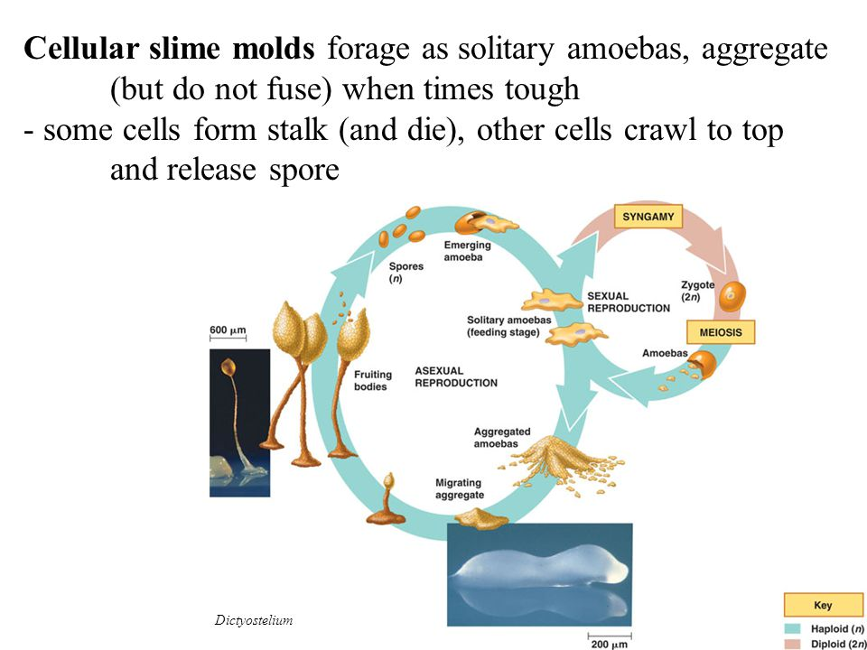 Cellular slime molds forage as solitary amoebas, aggregate