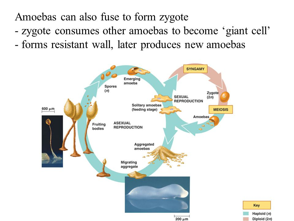 Amoebas can also fuse to form zygote
