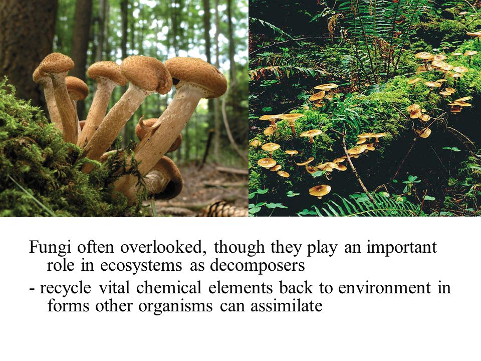 Fungi often overlooked, though they play an important role in ecosystems as decomposers