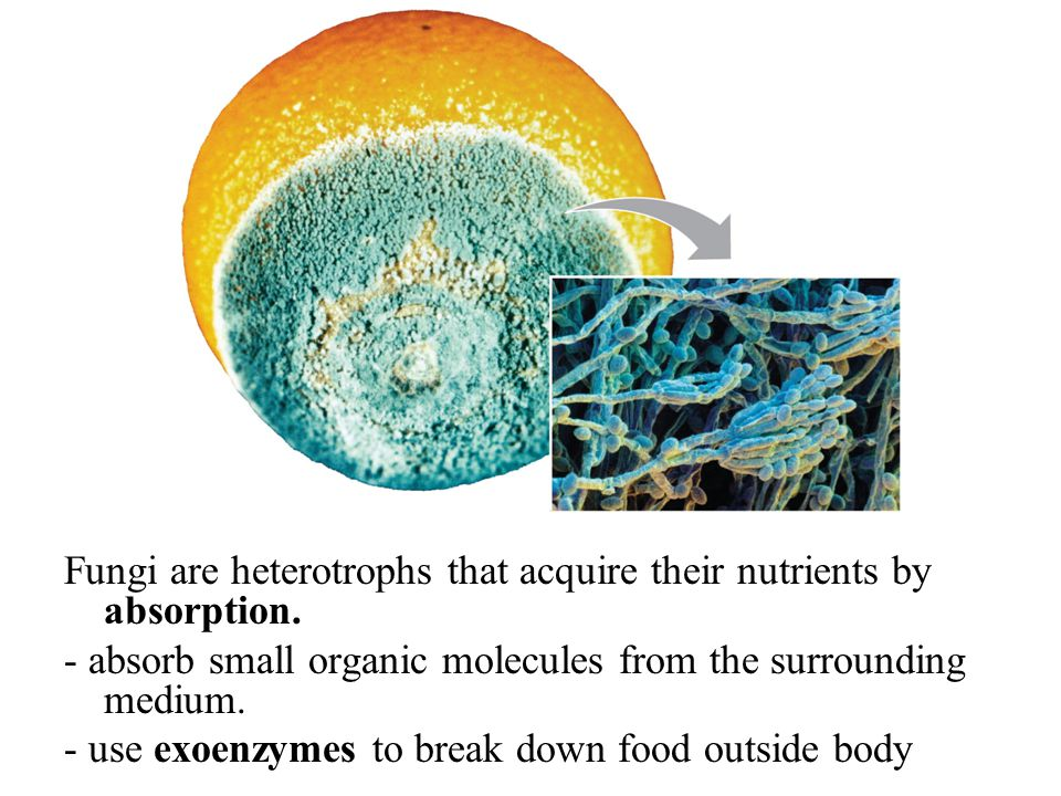 Fungi are heterotrophs that acquire their nutrients by absorption.