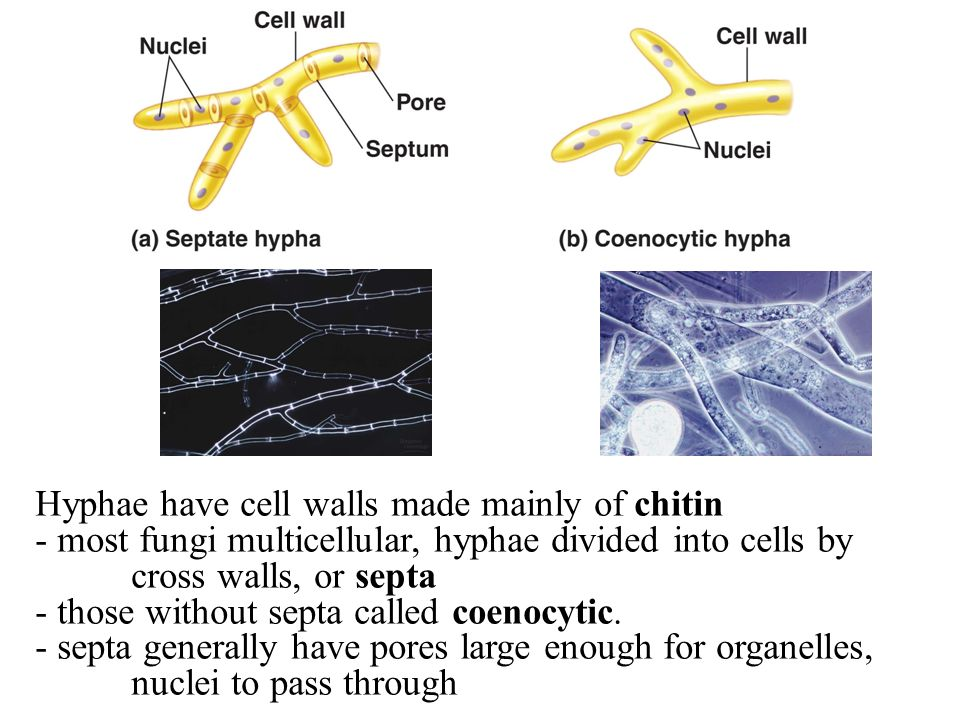 Hyphae have cell walls made mainly of chitin