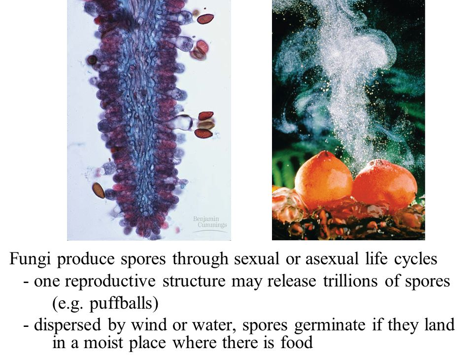 Fungi produce spores through sexual or asexual life cycles