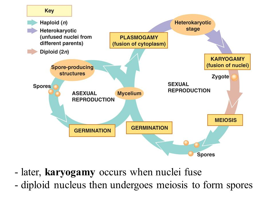 - later, karyogamy occurs when nuclei fuse