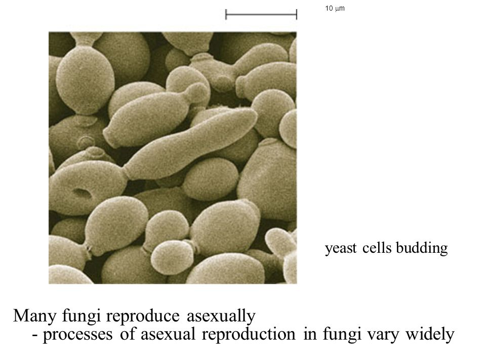 Many fungi reproduce asexually