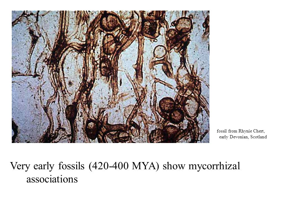 Very early fossils (420-400 MYA) show mycorrhizal associations