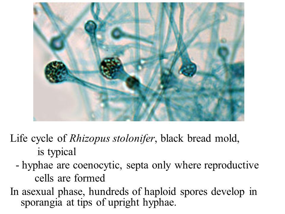 Life cycle of Rhizopus stolonifer, black bread mold,