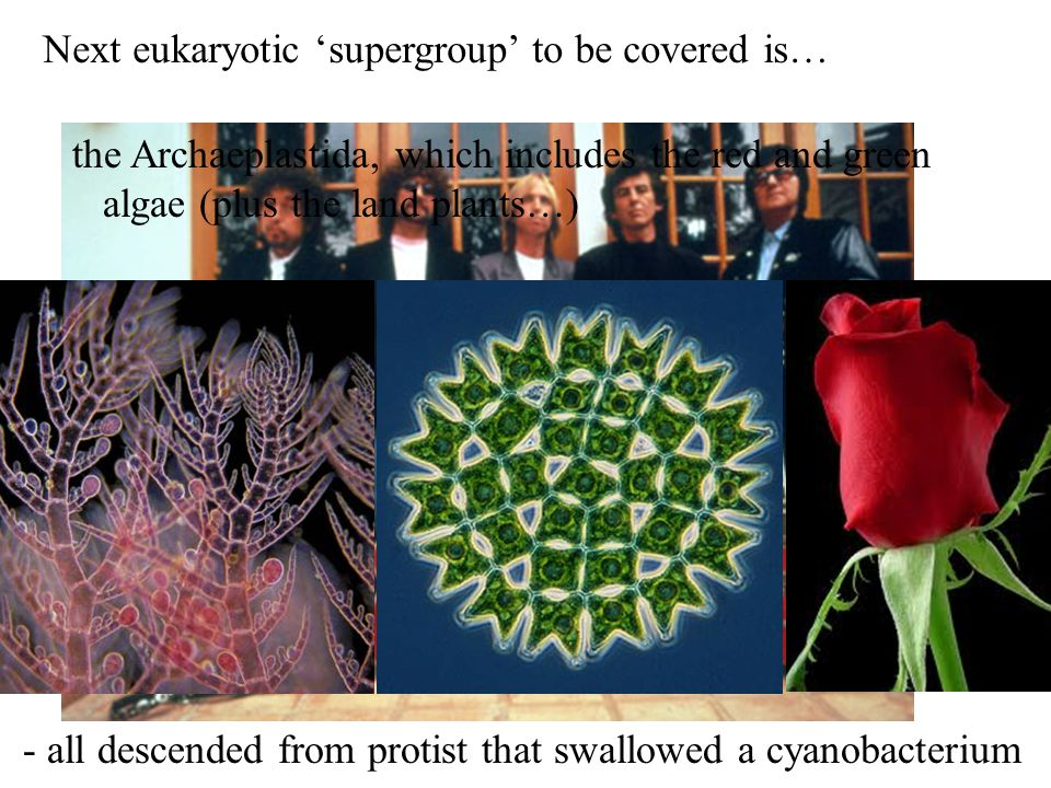 Next eukaryotic 'supergroup' to be covered is…