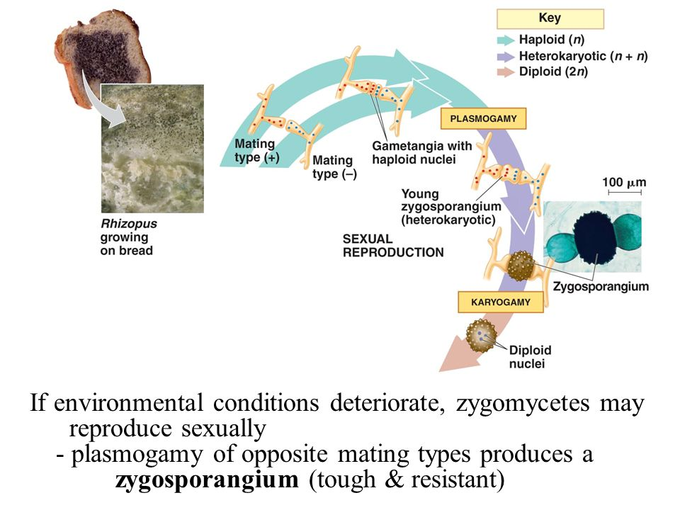 If environmental conditions deteriorate, zygomycetes may