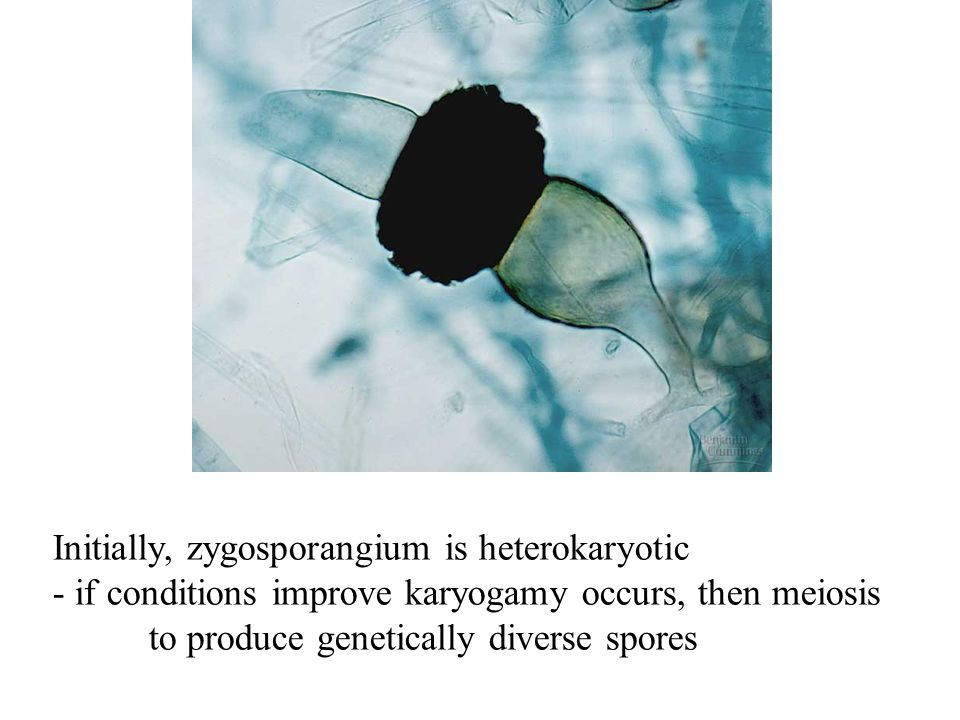 Initially, zygosporangium is heterokaryotic