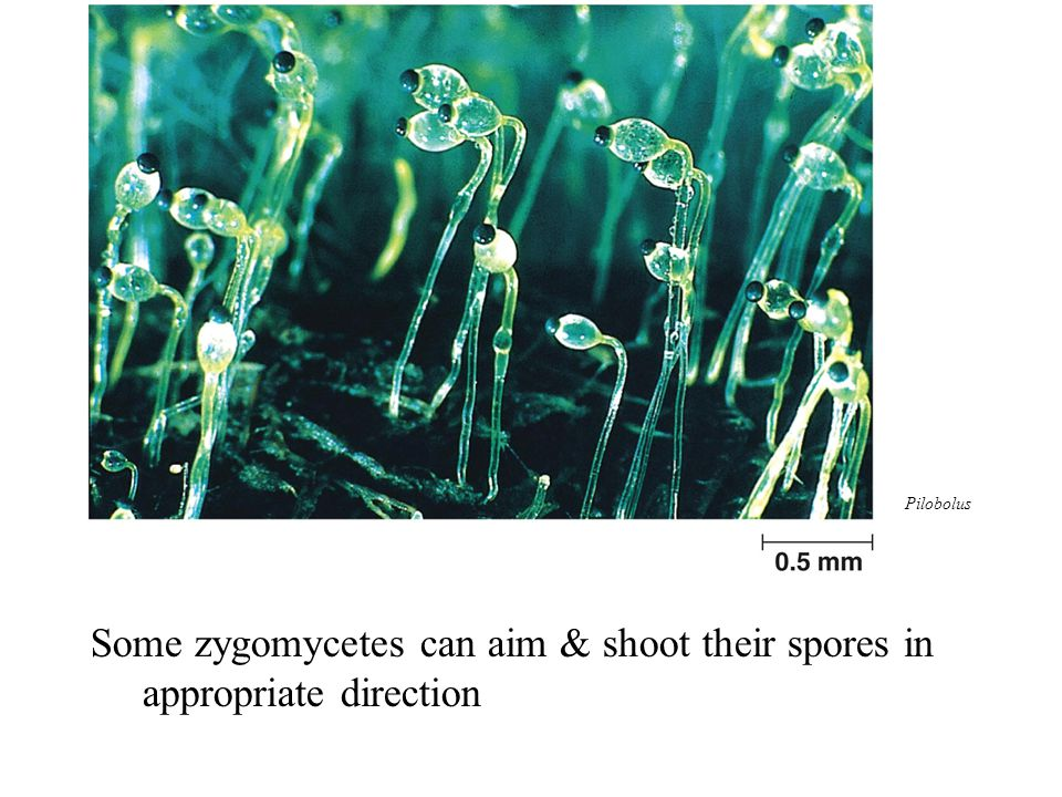 Some zygomycetes can aim & shoot their spores in appropriate direction